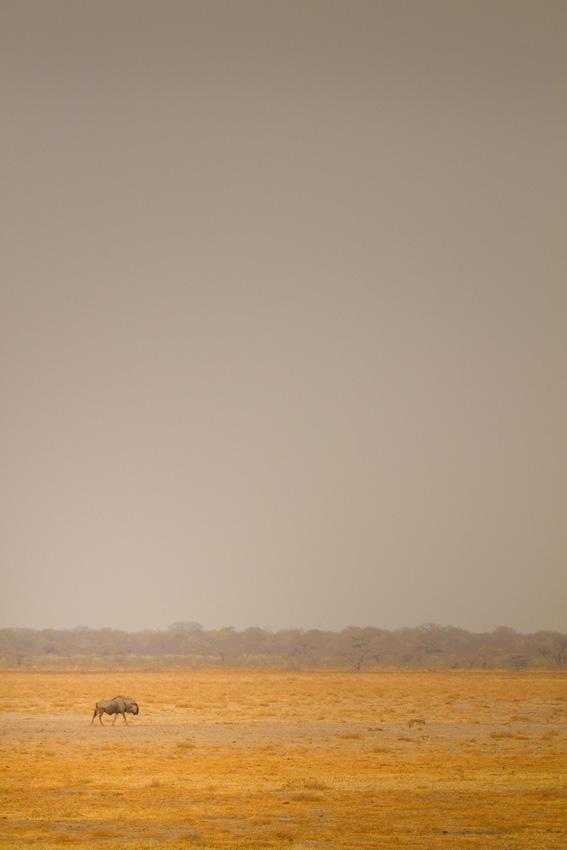 Lone Wilderbeest, Etosha National Park, Namibia