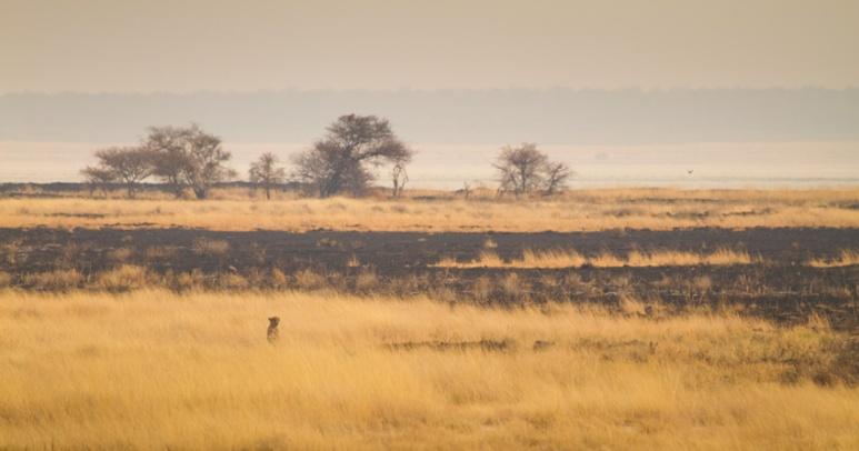 Cheeta, Etosha National Park, Namibia