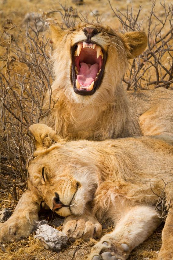 Male Lion Brothers Resting, Etosha National Park, Namibia