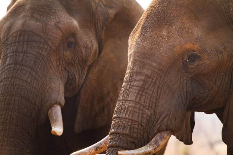 African Elephants - Zimbabwe
