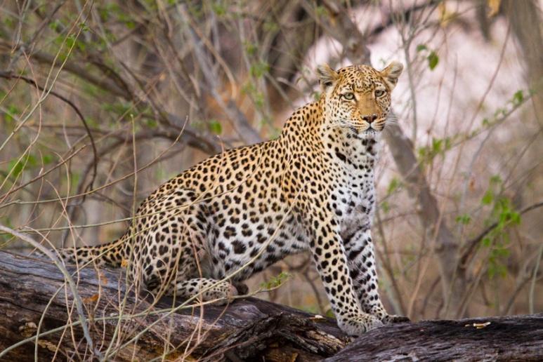 Leopard Mother, Okavango Delta, Botswana