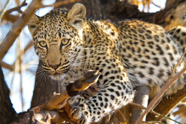 Leopard cub feeding, Okavango Delta, Botswana