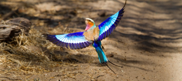 Lilac Breasted Roller takes flight, Botswana
